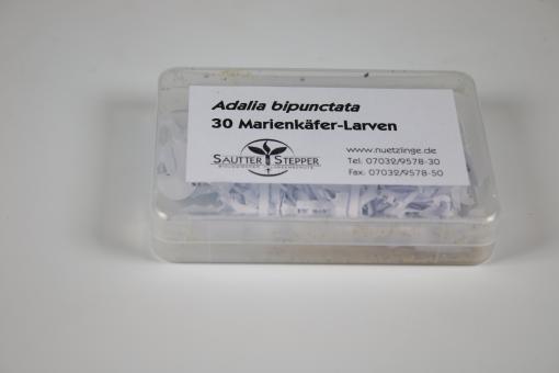 30 Marienkäfer Adalia bipunctata Larven