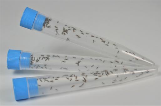 Mehlmottenschlupfwespe Habrobracon hebetor 150 Stück